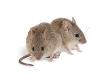 Closeup Two Field Mouse (Apode...
