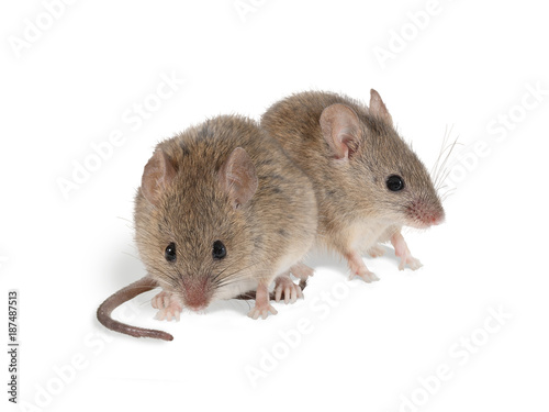 closeup two field mouse (Apodemus) sits on white background.  isolated on white