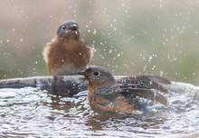 Two Female Eastern Bluebirds In A Bird Bath