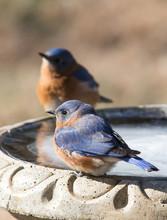 Two Male Eastern Bluebirds On A Bird Bath