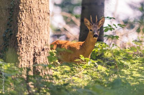 Chevreuil mâle, brocard, dans la forêt.