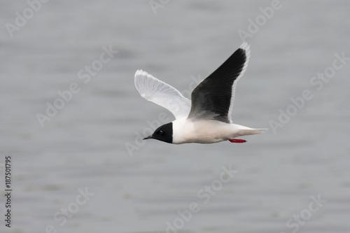 Little gull flying above water. Cute small black-headed rare waterbird. Bird in wildlife.