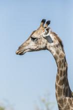 Side Face Giraffe Portrait