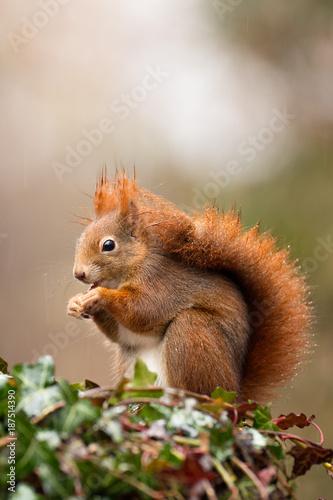 Fotobehang Eekhoorn Eichhörnchen