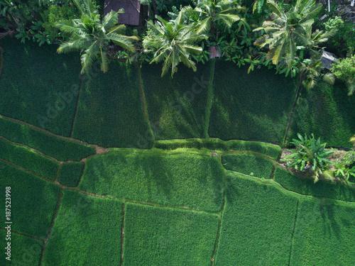 Fotobehang Rijstvelden Rice Paddies in Ubud, Bali
