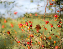 Rose Hips Growing In A Hedgero...