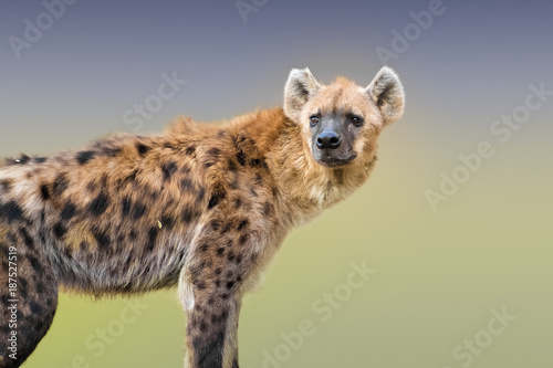 Spotted hyena Wallpaper Mural