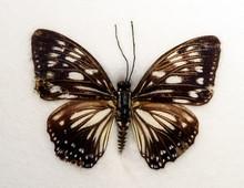 Lesser Zebra Graphium Macareus Butterfly
