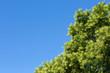 Leinwanddruck Bild - crown tree against the blue sky, outdoor nature park