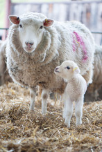 Newborn Lamb Looking At Its Mo...