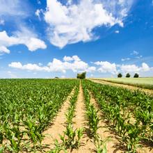Green Corn Field Under Blue Sky In Picardy