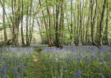 Wild Bluebells Growing In An A...