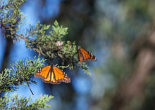 Two Monarch Butterflies In A P...