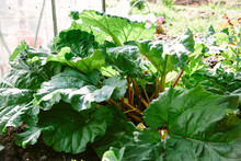 Rhubarb Growing In A Kitchen G...