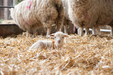 Tiny Lamb Sitting In A Straw Filled Pen