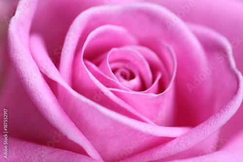 Close up of a beautiful pink rose