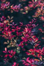 Late Autumn Colorful Bush Leaves