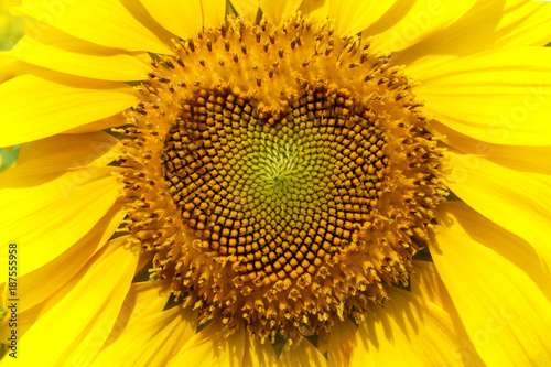 Sunflower with Heart form.