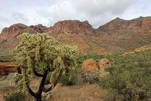 Chain Fruit Cholla Cactus In O...