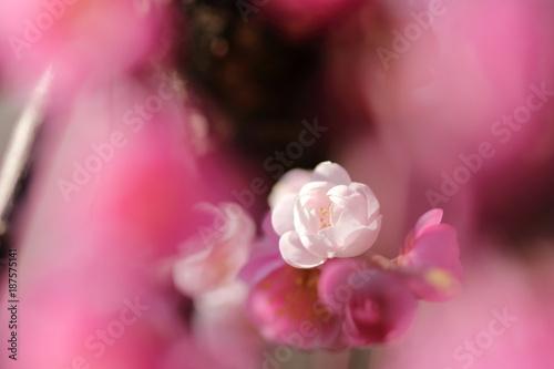 In de dag Candy roze 梅
