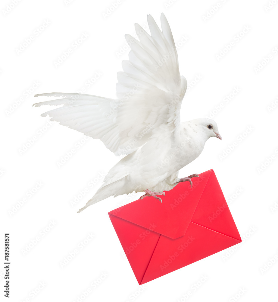 isolated dove carrying large red envelope