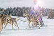 Sled dog racing alaskan malamute snow winter competition race