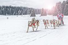 Sled Dog Racing Alaskan Malamu...