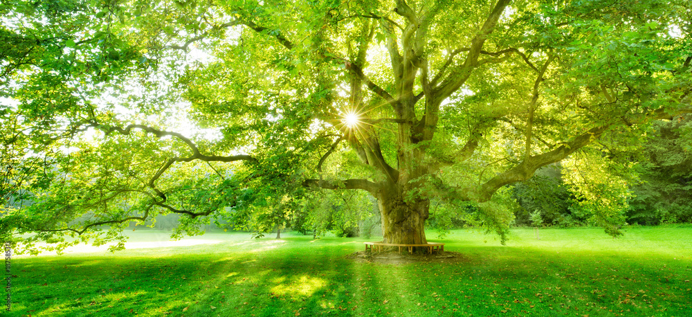 Fototapeta The Sun is shining through the green leaves of a mighty platanus tree