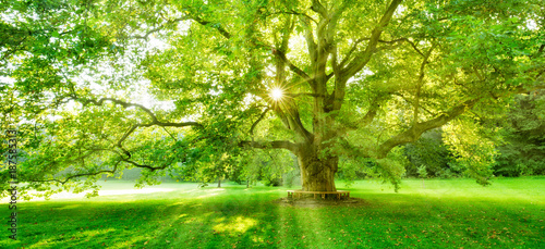 Foto Rollo Basic - The Sun is shining through the green leaves of a mighty platanus tree (von AVTG)