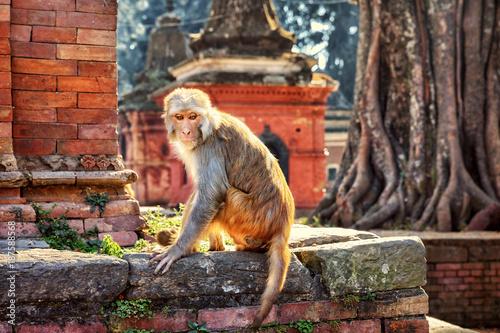 Rhesus Macaque, Pashupatinath, Kathmandu, Nepal