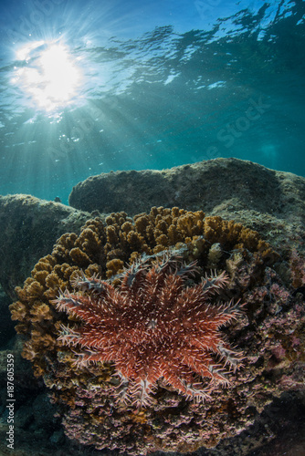 Fotobehang Koraalriffen Crown-of-thorns starfish, La Paz, Baja California Sur, Mexico