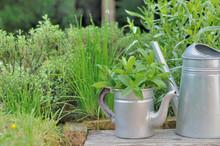 Fresh Aromatic Plants In Garde...