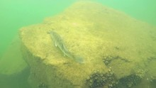Huge Walleye, Zander Or Pike-perch (Sander Lucioperca). Underwater Video Of Fresh Water Fish. Animals In Nature. Swimming Pike Perch And Guarding His Eggs.