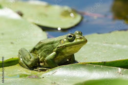 Fotografie, Obraz  Edible Frog on Water