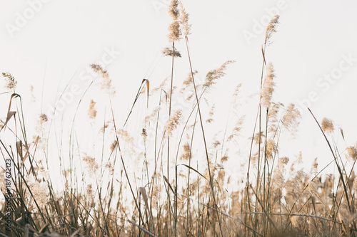 thicket of reeds Canvas