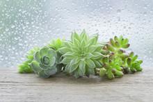 Mini Bunch Of Flowering Housep...