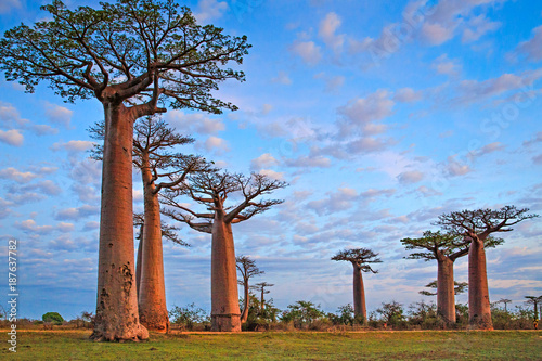 Recess Fitting Baobab Beautiful Baobab trees at sunset at the avenue of the baobabs in Madagascar