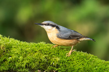 Nuthatch (Sitta Europaea) On A...