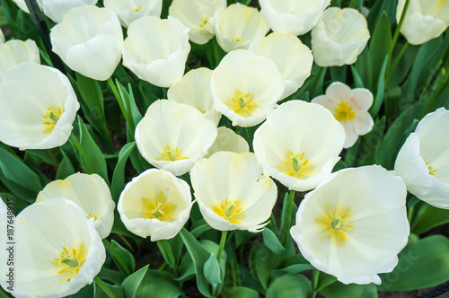 Wall Murals Tulip White Bolroyal Silver Tulip