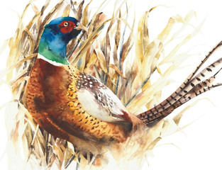Fototapeta Ptaki Pheasant game bird farm bird colorful animal watercolor painting illustration isolated on white background