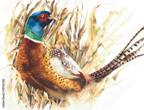 Pheasant game bird farm bird colorful animal watercolor painting illustration is Wallpaper Mural