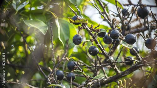 Valokuva Sloe Berries on Bush
