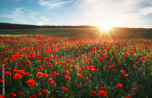 Stickers pour portes Orange eclat Field with red poppies, colorful flowers against the sunset sky