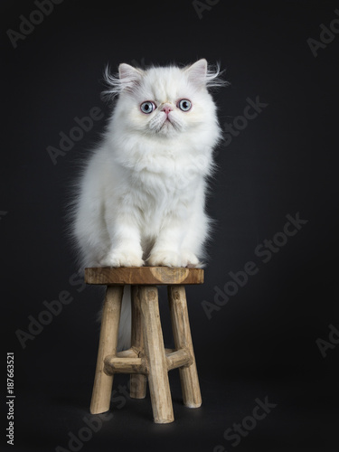 Peachy Persian Cat Kitten Sitting On A Wooden Stool Isolated On Inzonedesignstudio Interior Chair Design Inzonedesignstudiocom