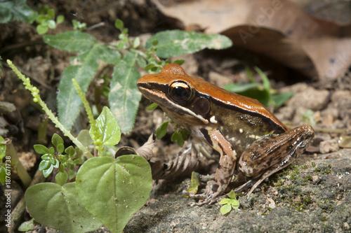 Photo Stands Frog Bronzefrosch (Indosylvirana temporalis) - bronzed frog / Sri Lanka