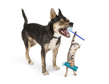 Funny Kitten Brushing Dog's Te...