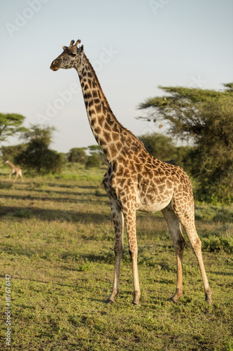 Side view of giraffes standing on field against sky Poster
