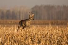 Close Up Roe Deer