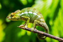 Endemic Chameleon Of Madagascar