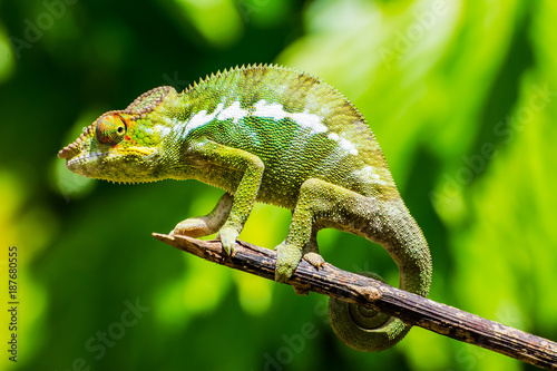 Photo sur Aluminium Cameleon Endemic chameleon of Madagascar